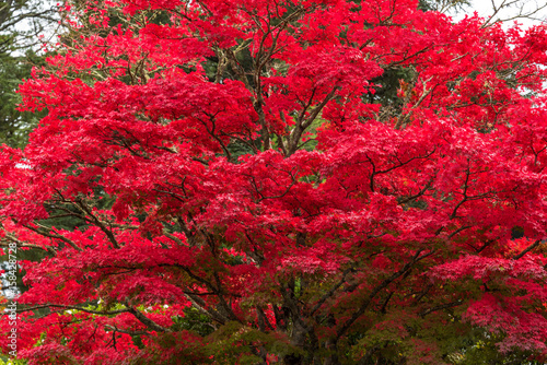 Autumn landscape of bright red tree