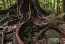 Ancient Fig Tree Roots And But...