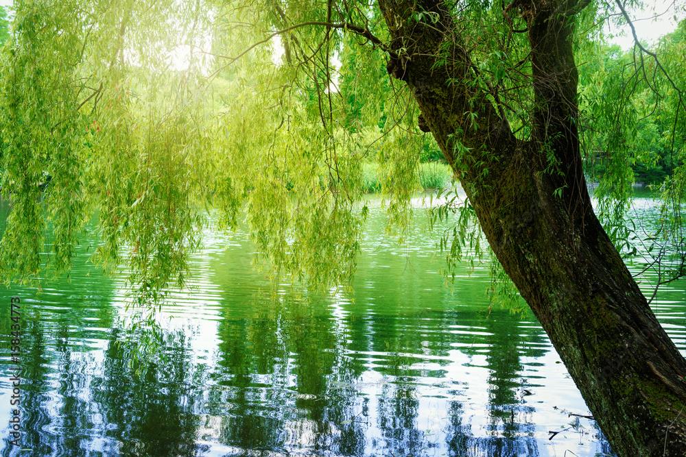Fototapeta 池と柳の木