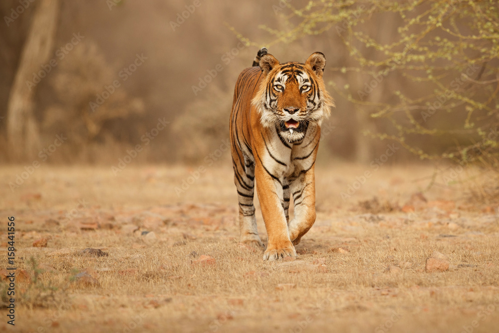 Tiger in the nature habitat. Tiger male walking head on composition. Wildlife scene with danger animal. Hot summer in Rajasthan, India. Dry trees with beautiful indian tiger, Panthera tigris