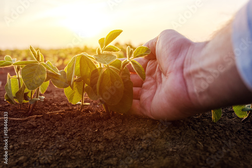 Photo Agronomist checking small soybean plants in cultivated agricultural field