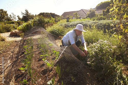 Mature Woman Working On Community Allotment Canvas Print