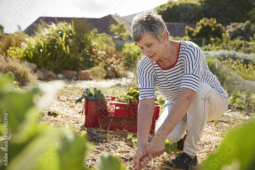 Photo Mature Woman Harvesting Beetroot On Community Allotment