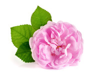 Wild Rose Blooming Flower Isol...