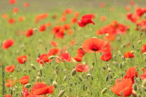 Fotobehang Klaprozen Poppies in field