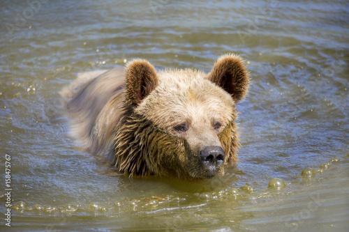 Fotografie, Obraz  Portrait d'ours brun sortant de l'eau
