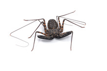 Tailless Whipscorpions Isolate...