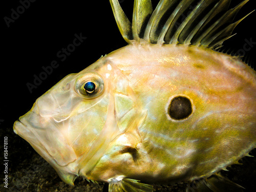 Photographie  Underwater shot of Zeus Faber - John Dory or Peter's fish
