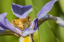 Hobomok Skipper Nectaring On Blue Flag Iris