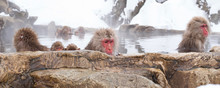Japanese Macaques Or Snow Monkeys Bathing In Hot Springs 地獄谷の日本猿