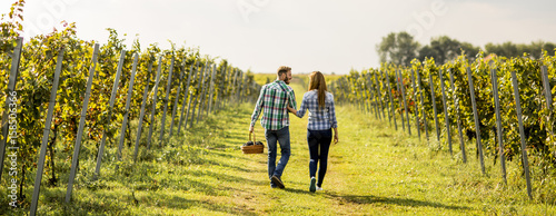 Foto op Canvas Wijngaard Young couple harvesting grapes in a vineyard