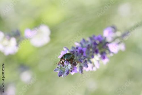 Fotobehang Lavendel lavande et son insecte