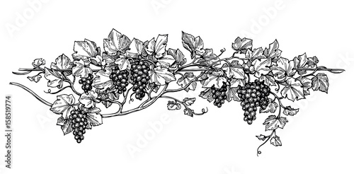 Foto  Grapevine ink sketch