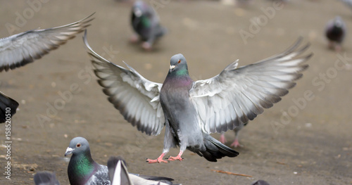Landing Pigeon in the Park A2