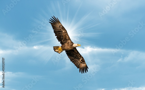 Poster Eagle Bald Eagle Flying in Blue Sky with Sun over wing