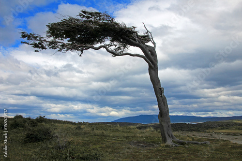 Fényképezés  Tree deformed by wind on Tierra del Fuego, Patagonia, Argentina