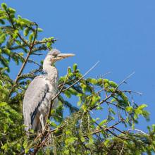 Heron On Treetop