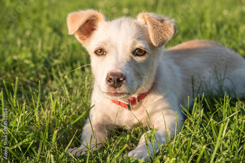 Photographie  Cute crossbreed beige dog puppy with red collar lying on the grass in the sun