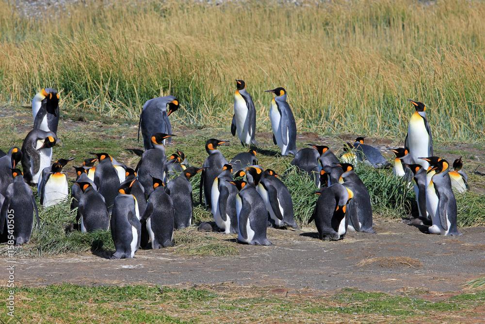 d9d47ccad Photo & Art Print King penguins living wild at Parque Pinguino Rey, Tierra  Del Fuego, Patagonia, C | EuroPosters