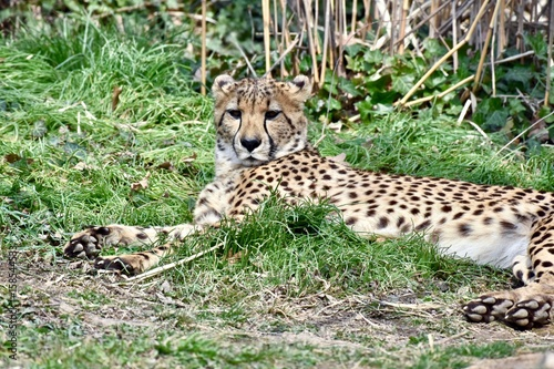 Photo  Young  cheetah (Acinonyx jubatus) laying in the sun