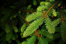 Background Of Christmas Tree, Spruce Branches And Needles.