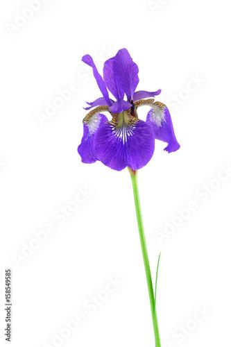 Foto op Canvas Iris purple Iris flower isolated on white background