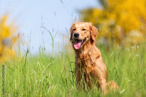 Photo portrait of a golden retriever in a meadow