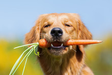 Young Golden Retriever With A ...