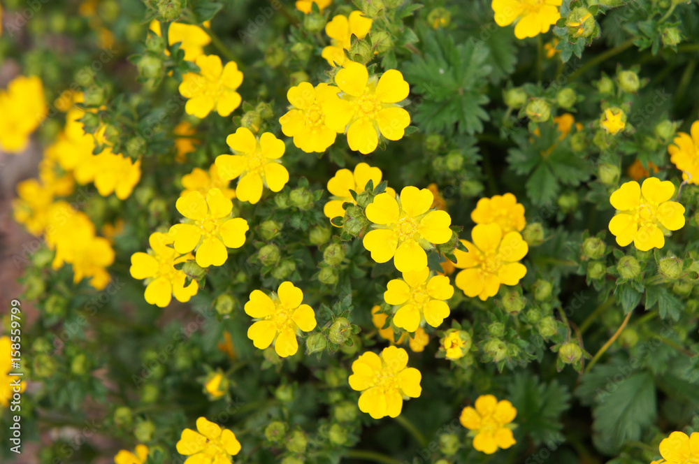 Valokuva  Potentilla fruticosa many yellow flowers with green