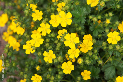 Foto  Potentilla fruticosa many yellow flowers with green