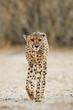 canvas print picture - An alert cheetah (Acinonyx jubatus) walking, Kalahari desert, South Africa.