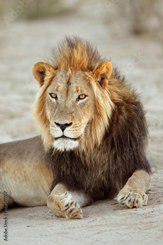 Staande foto Leeuw Portrait of a big male African lion (Panthera leo), South Africa.