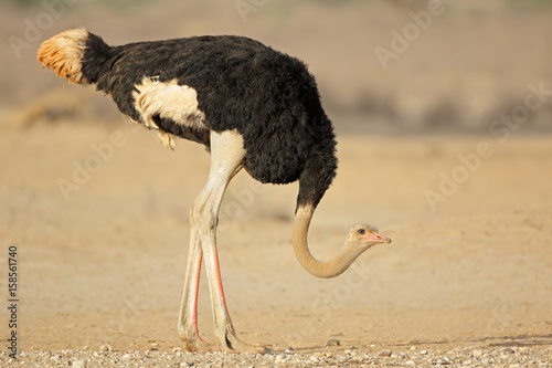 Male ostrich (Struthio camelus) in natural habitat, Kalahari desert, South Africa.