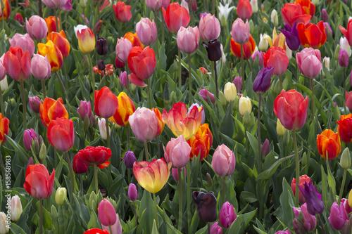 Foto op Plexiglas Tulp Tulips landscape in Holland