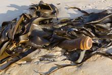 Bull Kelp (Bullwhip Kelp) Washed Ashore Showing Cylindrical Stipe In Tasmania, Australia.