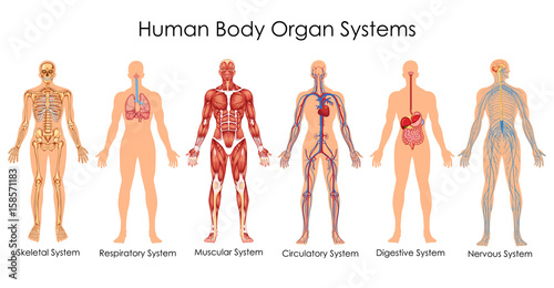 Medical Education Chart of Biology for Human Body Organ System Diagram Tapéta, Fotótapéta