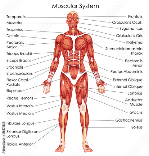 Medical Education Chart of Biology for Muscular System Diagram Wall mural