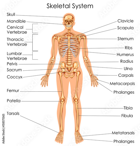 Medical Education Chart Of Biology For Skeletal System Diagram Buy