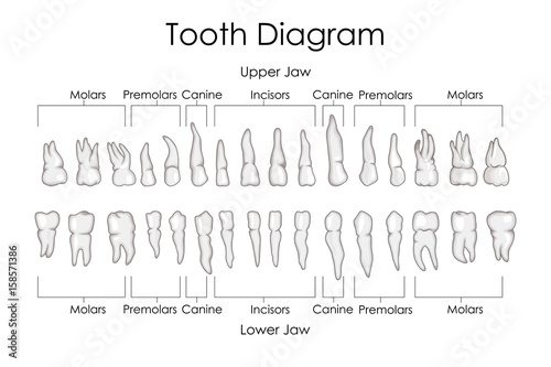 Medical Education Chart Of Biology For Human Teeth Diagram Buy