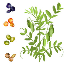 Lentil  (Lens Culinaris). Hand Drawn Vector Illustration Of Lentil Plant With Pods And Set Of Seeds On White Background.