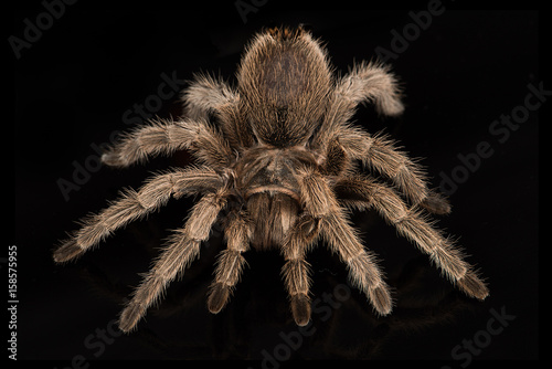 A very close photograph of a Chilean Rose Tarantula set against a black backgrou Canvas