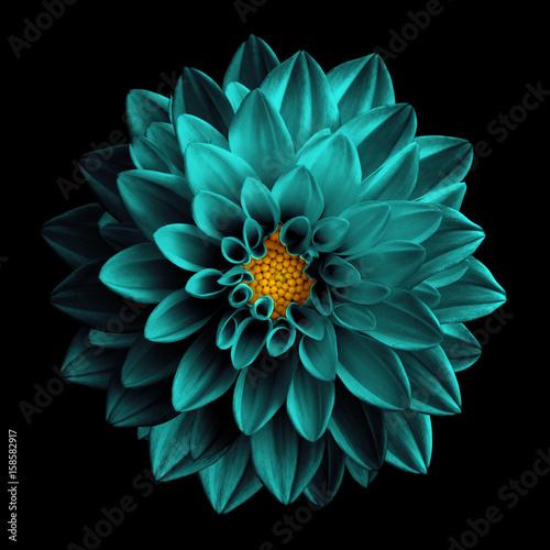 Spoed Foto op Canvas Dahlia Surreal dark chrome turquoise flower dahlia macro isolated on black