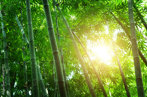 Poster Bambou Green bamboo forest