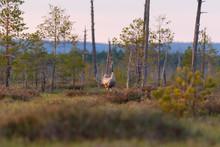 Crane Bird Sings(screaming) On The Swamp