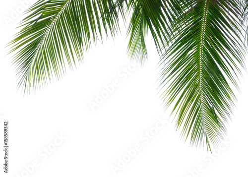 Canvas Prints Palm tree Coconut palm leaf isolated on white background