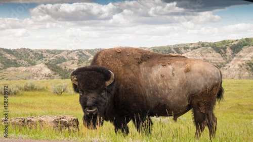 Huge Buffalo looking