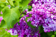 Amazing natural view of bright lilac flowers in garden at sunny spring day with green leaves as a background.