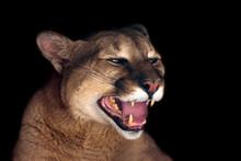 Beautiful Puma  Portrait Isolated On Black Background