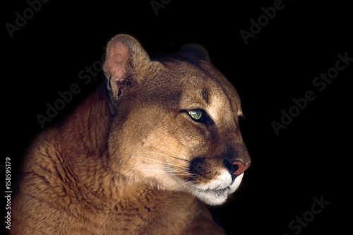 Fototapeta premium Piękny portret puma na białym tle na czarnym tle