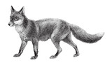Fox (Vulpes vulpes) / vintage illustration  - 158604524